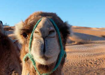 Kamel ganz nah