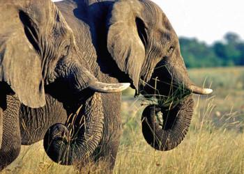 Elefanten im Okavango Delta