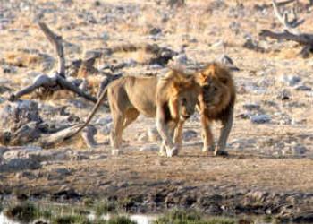 Löwen im Etosha Nationalpark