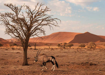 Imposante Oryxantilope in der Namib