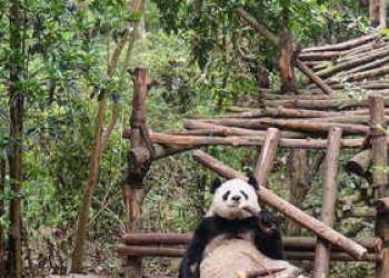 Pandabär in der Aufzucht