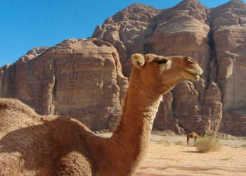 Kamel bei der Mittagsrast