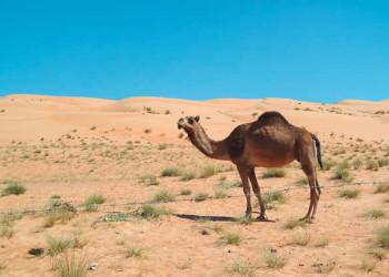 Kamel in den Wahiba Sands