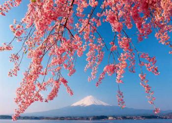 Fuji in der Kirschblüte