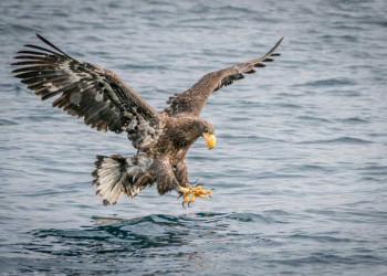 Riesenseeadler am Ochotskischen Meer