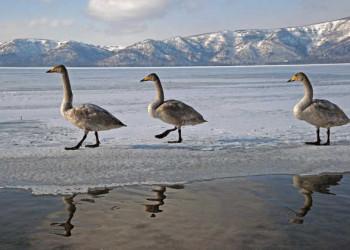 Singschwäne auf Hokkaido