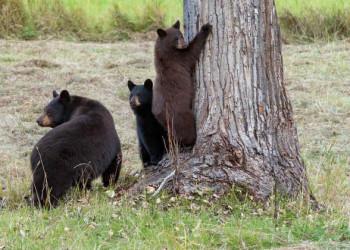 Bären im Clearwater Nationalpark