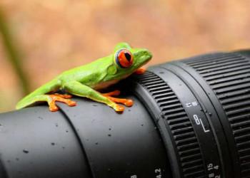 Rotaugenlaubfrosch auf statt vor der Kamera