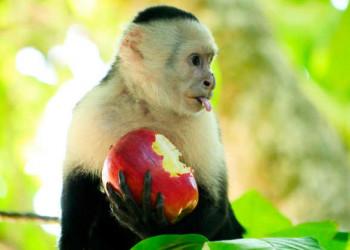Weißschulterkapuzineraffe mit geklautem Apfel