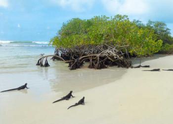 Meeresechsen an der Tortuga Bay