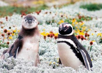 Pinguine in Patagonien