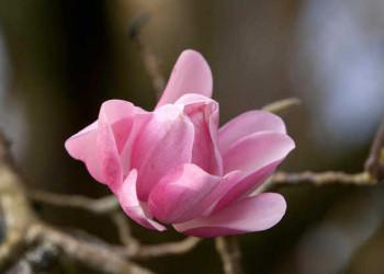 Magnolie im Trebah Garden