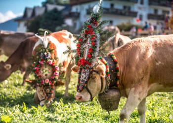 Bunt geschmückte Kühe am Spieljoch