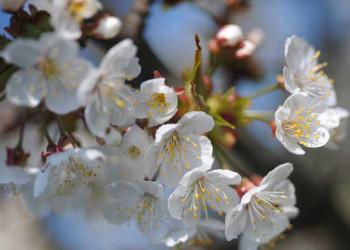 Krischblüte in der Region Neusiedler See