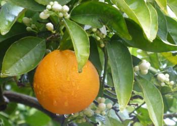 Orange am Baum
