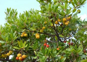 Erdbeerbaum (Medronho)