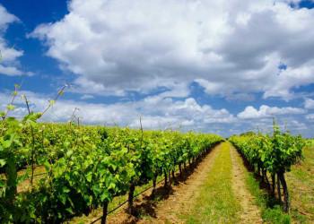 Weinfelder