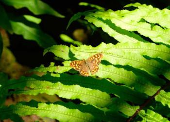 Schmetterling auf Farn