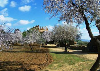 Mandelblüte bei Agrigento