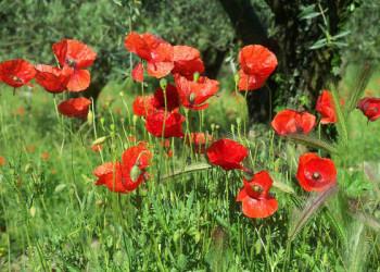 Mohnblumen in der Provence