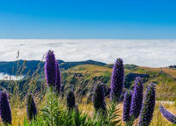Madeira Natternkopf | © shutterstock_500574496