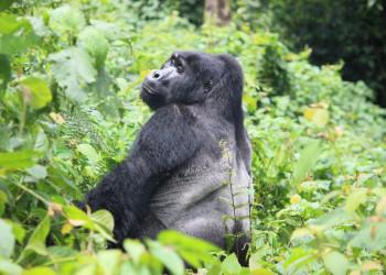 Uganda-Silverback-Bwindi-Forest