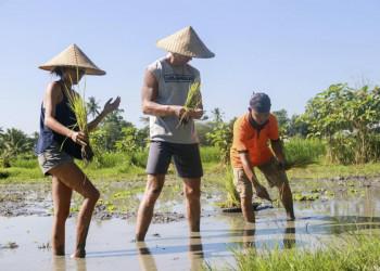 Reisernte auf Bali in Indonesien
