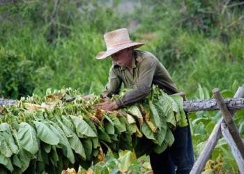 Wie war die Ernte beim Tabak in diesem Jahr auf Kuba?