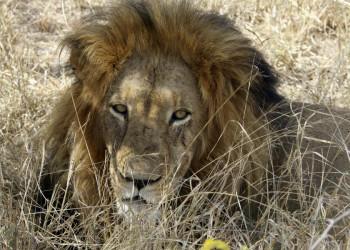 Der König der Löwen in Südafrika