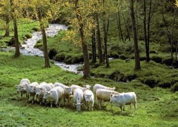 weiße Rinder auf Wiese an Bach