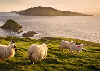 In Irland allgegenwärtig: Schafe