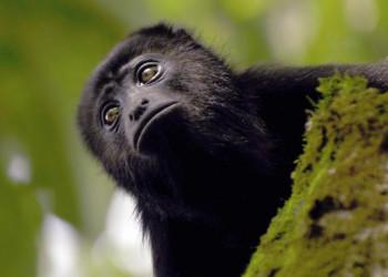 Meistens hört man sie nur - die Affen im Dach des Dschungels