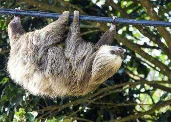 Dreifinger-Faultier in Costa Rica