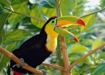 Fischer- oder Regenbogentukan aus Costa Rica
