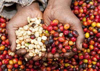 Reiche Ernte auf der Kaffeefinca in Costa Rica