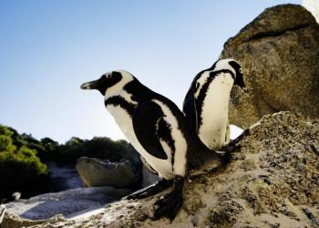 Die Pinguine aus Südafrika