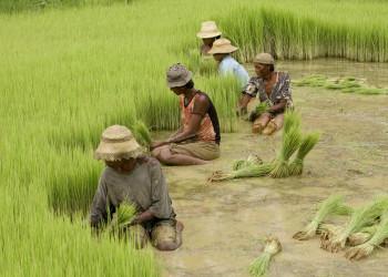 Reisernte im Südosten Madagaskars