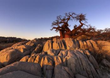 Ein Baobab im Licht des Sonnenuntergangs in Botswana