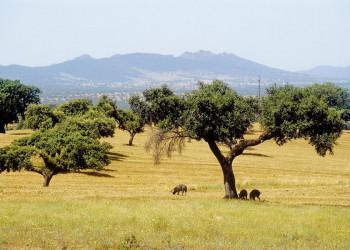 Eichenhaine in der Extremadura