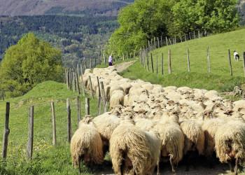 Weidewirtschaft in den Pyrenäen