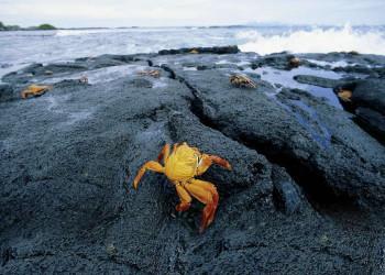 Krabben auf den Galápagos-Inseln