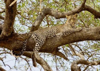 Leopard auf der Lauer in der Serengeti