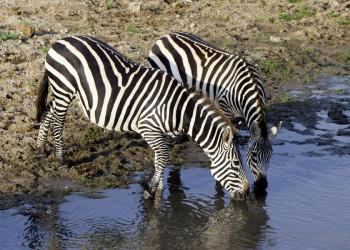 Streifentiere am Wasserloch in Tansania