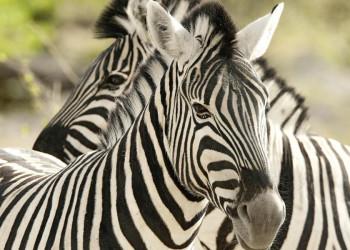 Zebras im Krügerpark, Südafrika