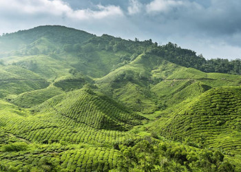 Teeplantagen in den Cameron-Highlands