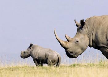 Nashornjunges mit Mutter