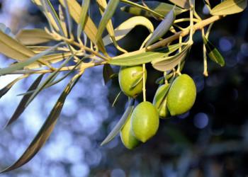 Ständiger Begleiter auf Korfu: Olivenbäume