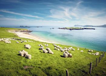 Schafe auf Blasket Island in Irland