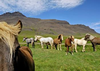 Islandpferde - robust und vielseitig einsetzbar!