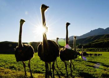 Strauße an der Gartenroute in Südafrika